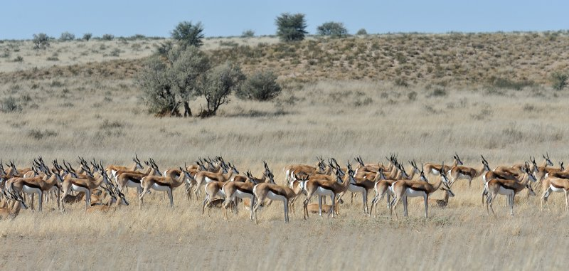 Springbok Massed.jpg