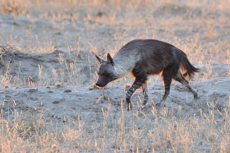 Brown hyena 1200.jpg