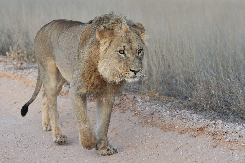 Lion Along the Road.jpg