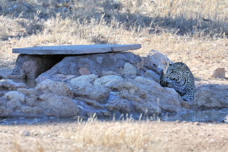 Leopard Cub Trying to Catch Birds.jpg