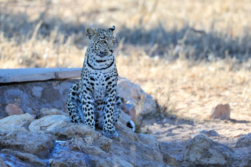 Young Leopard I.jpg