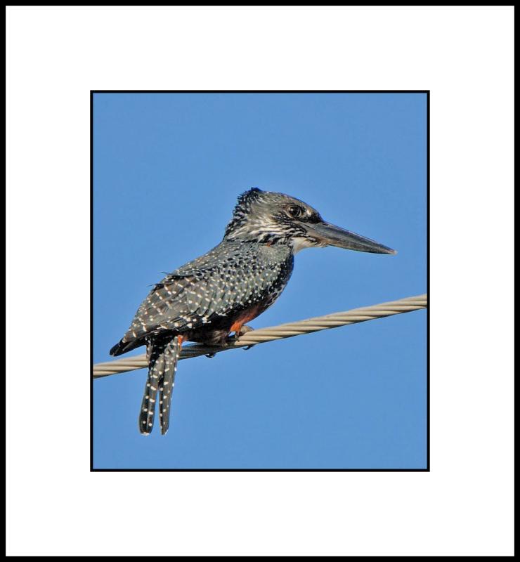 Giant Kingfisher I
