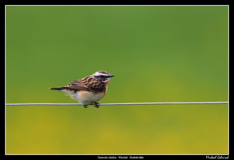 Whinchat and Dandelions