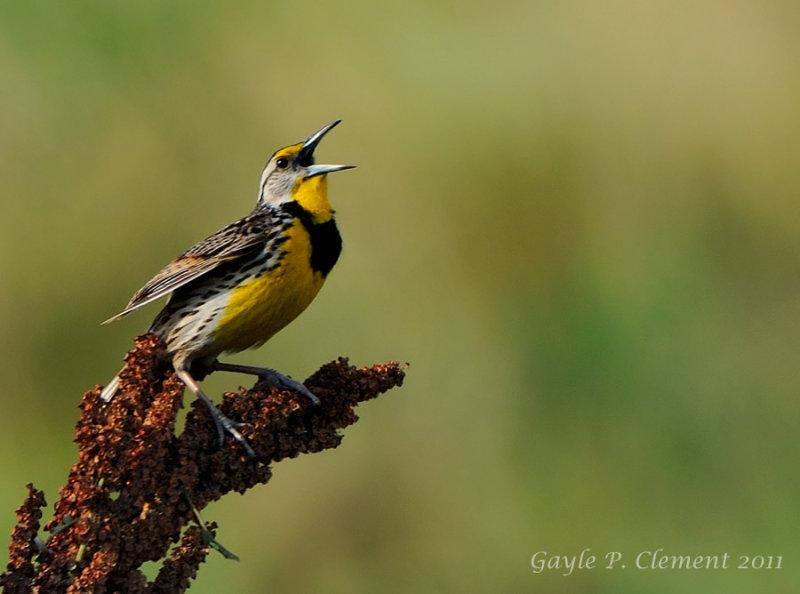 Spring Meadowlark