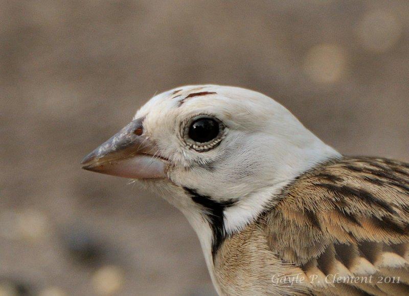 Leucistic Lark Sparrow Portrait
