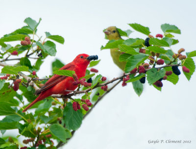 Summer Tanager Pair