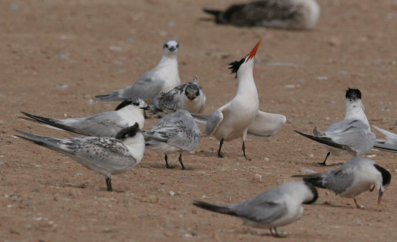 Hybrid Lesser Crested Tern x Sandwitch T. - Sterna bengalensis x St sandvicensis - Charran bengalí x Ch. patinegro - Xatrac