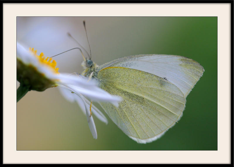Parc floral</br>Papillon blanc