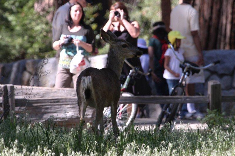cerf mulet / mule deer (Yellowstone, USA)