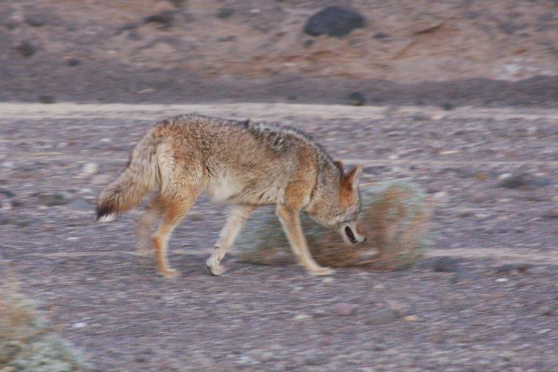 Coyote (Death Valley, USA)