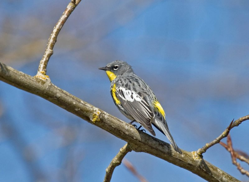 Audubons Warbler
