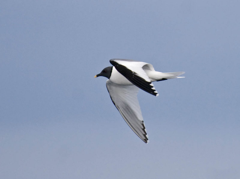 Sabines Gull