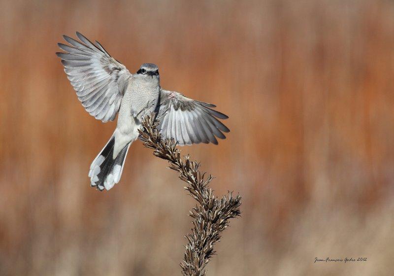 Northern Shrike (Pie-grèche grise)