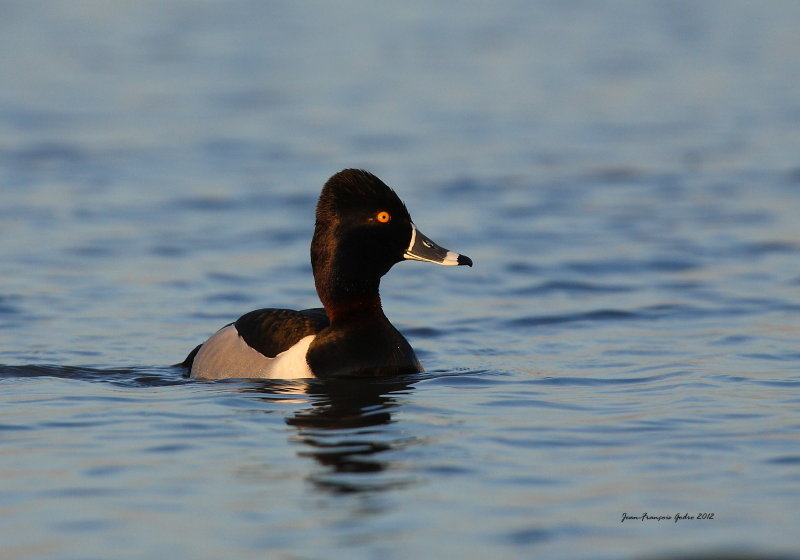 Fuligule a collier (Ring-necked Duck)