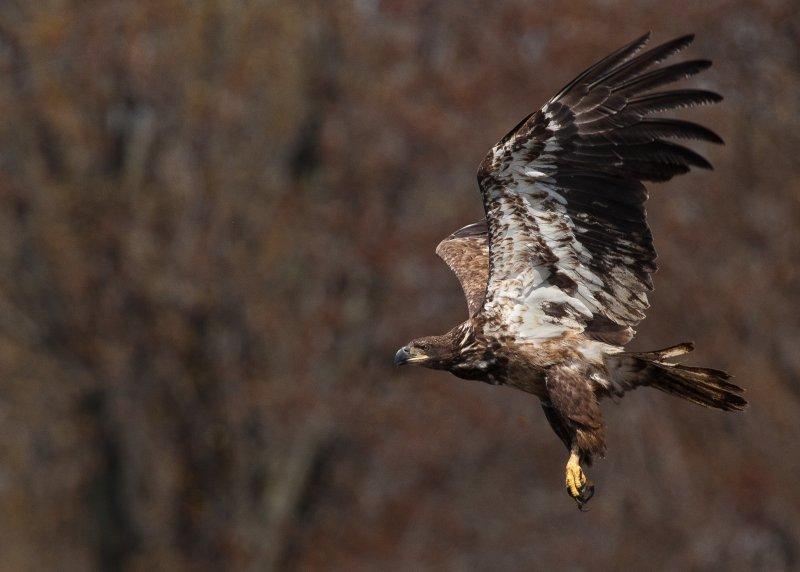 Pygargue a tête blanche (immature) Bald Eagle