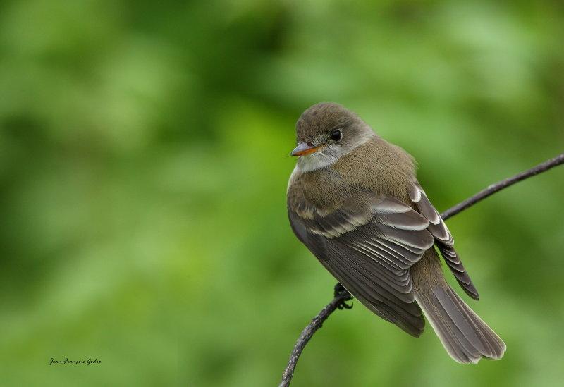 Moucherolle des saules (Willow Flycatcher)
