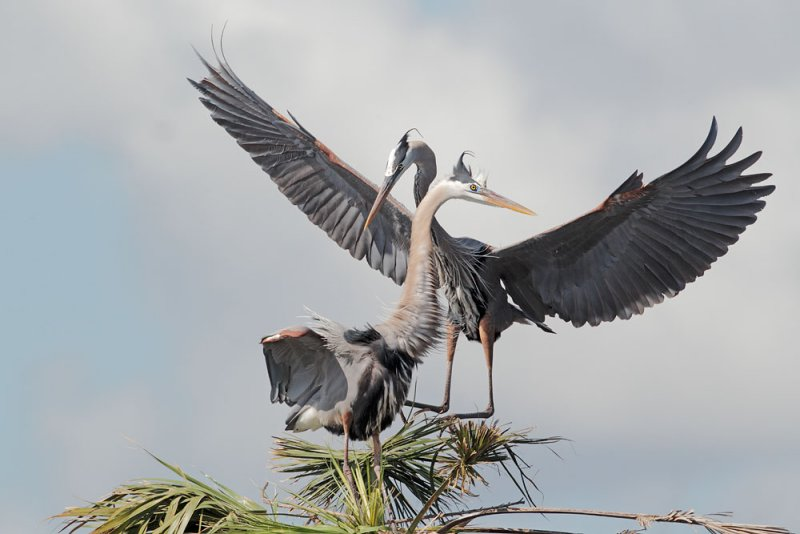 Great Blue Herons, male mounting