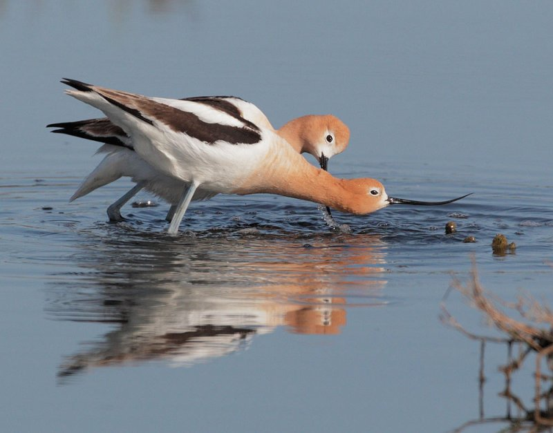 American Avocets, courting