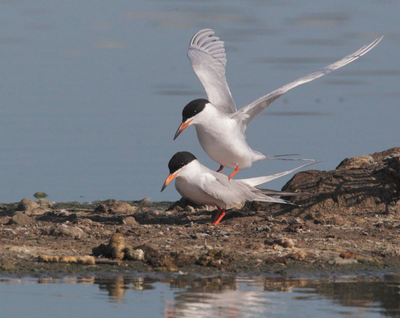 Forsters Terns, mating