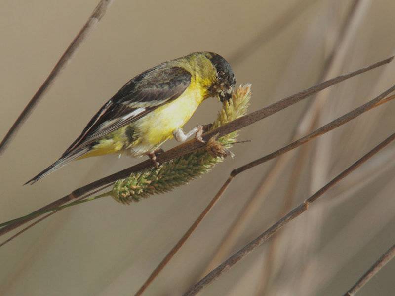 Lesser Goldfinch, eating wheat