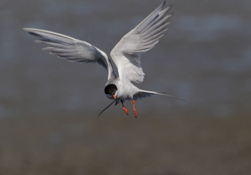 Forsters Tern, flying