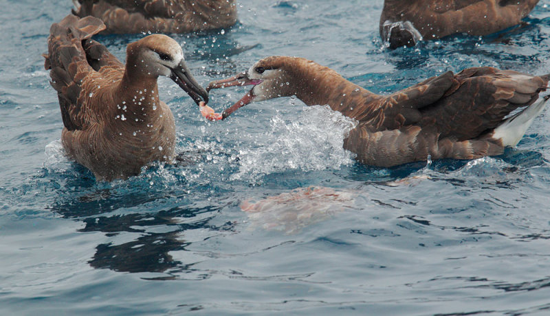 Black-footed Albatrosses, fighting over food