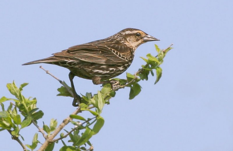 Red-winged Blackbird, typical female