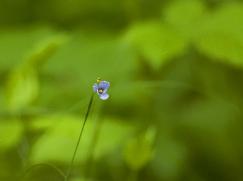 blue-eyed grass 526