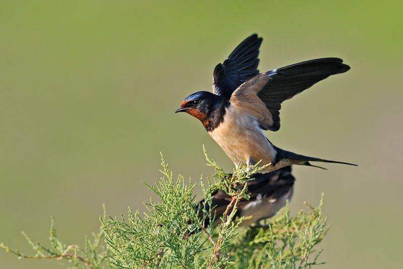 Barn Swallow - ñðåðéú äøôúåú.jpg