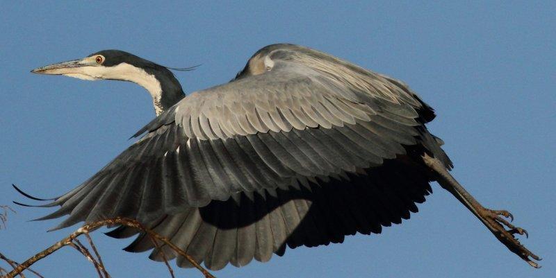 Black-headed Herons