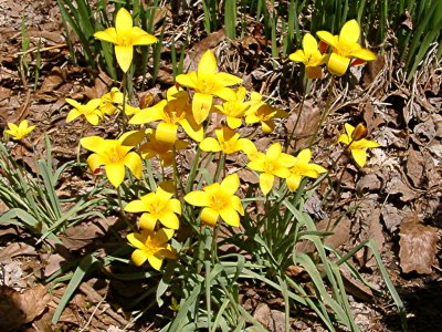 <i>Tulipa kolpakowskiana</i>