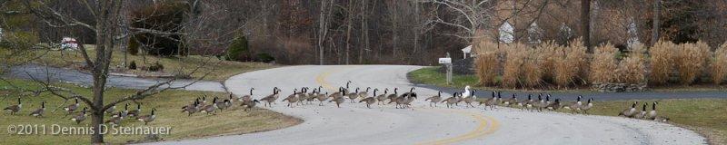 Goose, goose, goose, ... Snow Goose?<br><font size=3>ds20111230-0043w.jpg</font>