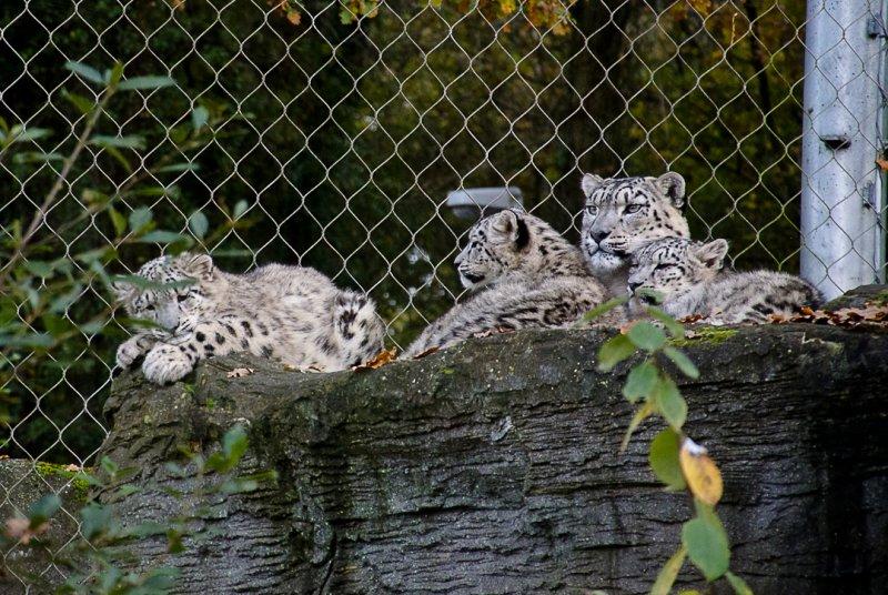 Snow Leopard - Mother & Cubs