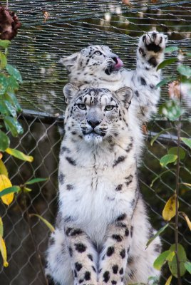 Snow Leopard and one of her cubs