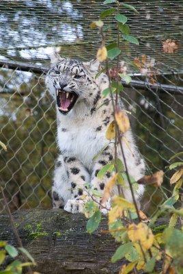 Snow Leopard - cub