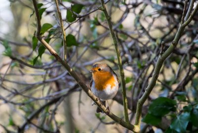 Our Robin