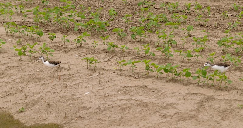 Black-necked Stilt- Lake Co. Cotton Field Youngsters.