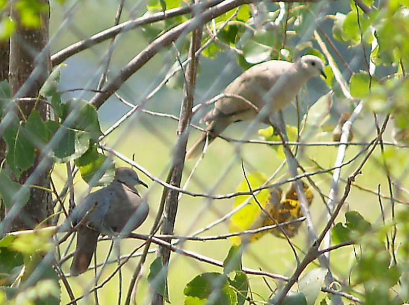 White-winged Dove - 8-12-2011 - Presidents Is. - calling male with ECDO.