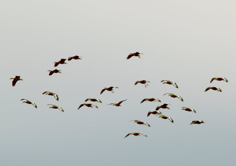 Black-bellied Whistling Duck - 1-7-2012 - Ensley - in commng Whistlers