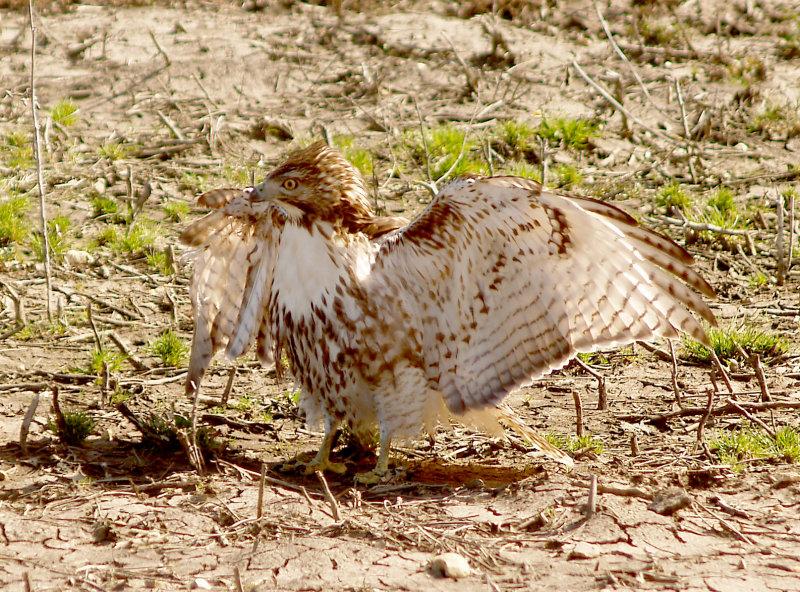 Red-tailed Hawk - 2-25-2012 - immature - gunshot.