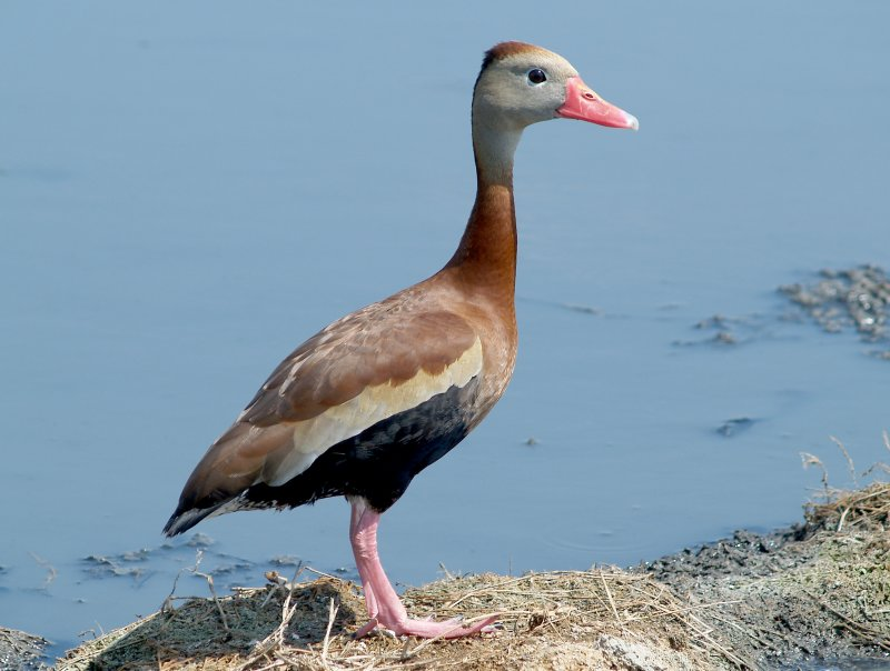 Black-bellied Whistling Duck - 5-5-2012 - Ensley Bottoms single.