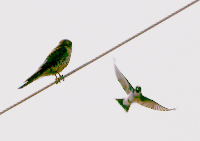 Western Kingbird - 5-26-2012 Attacking Kestrel at Nest.
