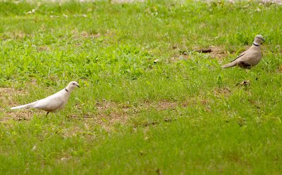 Eurasian Collared-Dove - nesting pair 6300 Memphis-Arlington.
