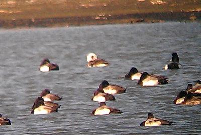 Long-tailed Duck - 2-19-2012  preening female - TVA Lake.