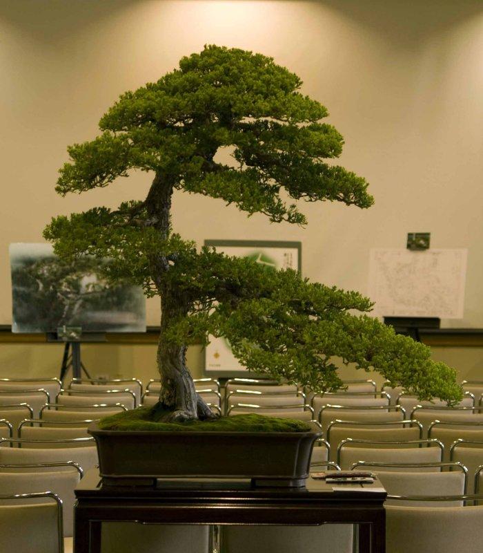 Juniperus, c. prostrata by Che, Zhao-Sheng
