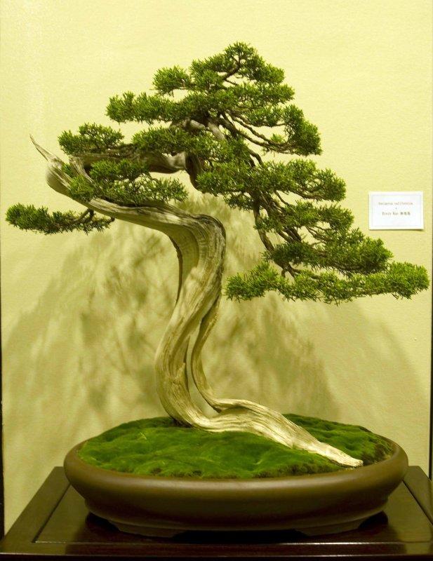 Juniperus california by Ernie Kuo