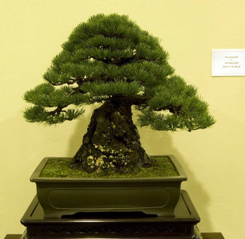 Pinus parvifolia by John Wang, Owner: TC Pan