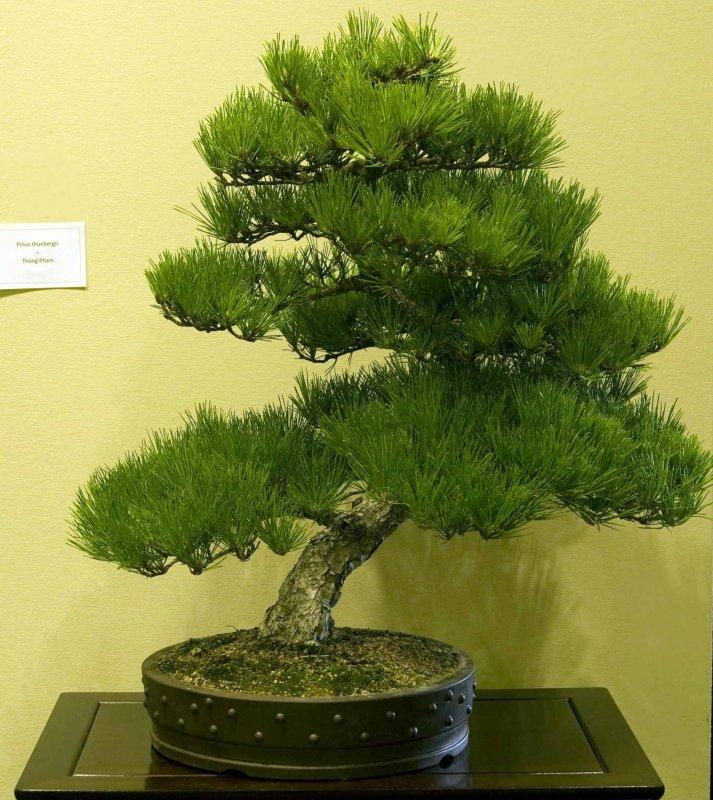 Pinus thunbergii by Thong Pham