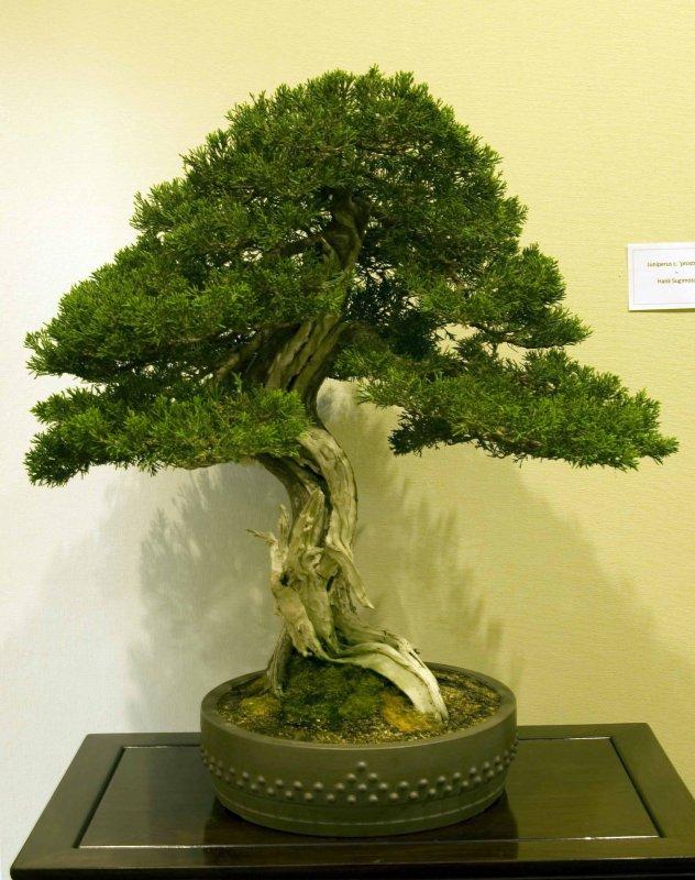 Juniperus, c. prostrata by Hank Sugimoto