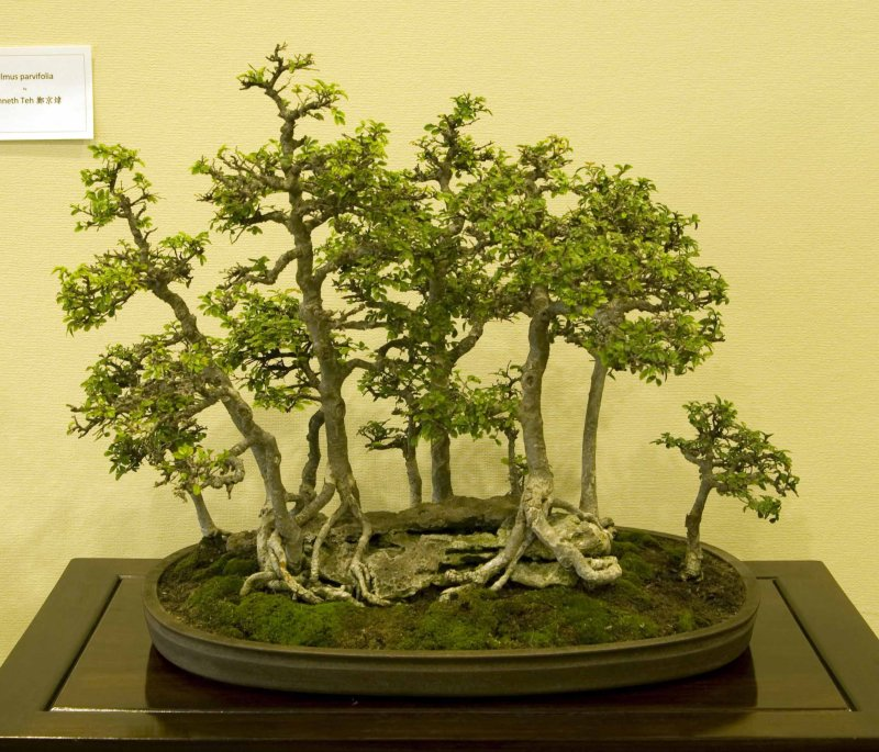 Ulmus parvifolia by Ken Teh